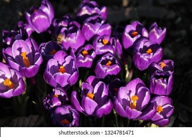 purple coloured crocusses