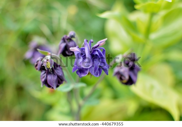 Purple Columbine flowers