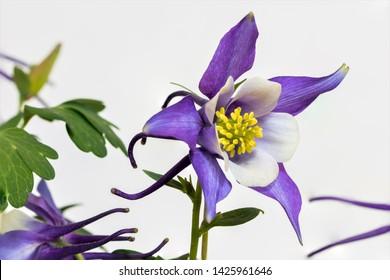 Purple Columbine Flowers, macro, isolated
