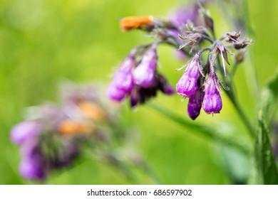 Purple comfrey flowers. Wild plant. Symphytum officinale