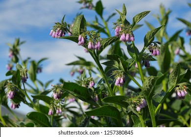 Purple Common Comfrey flowers at North Connel Scotland UK beside the Oban Airport