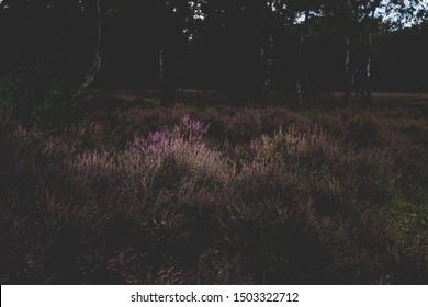 Purple common heather (Calluna vulgaris) Blooming Heather field in the Netherlands national park, flower fields in August