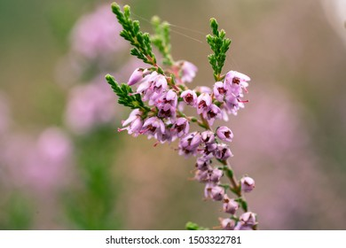 Purple common heather (Calluna vulgaris) Blooming Heather field in the Netherlands national park, flower fields in August