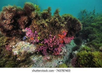 Purple compound tunicates on small overhang of rocky reef covered with various seaweeds.