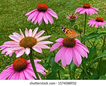 Purple Cone Flowers and Butterfly