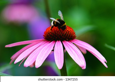 Purple Coneflower, Echinacea
