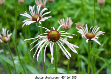 Purple coneflower (Echinacea pallida), close-up, in a garden at spring