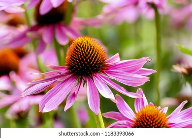 Purple coneflower, Echinacea purpurea, blossom, Bavaria, Germany, Europe