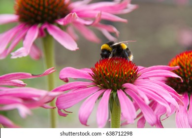 Purple coneflower (Echinacea purpurea) a popular plant for attracting the honey bee in the English country garden.
