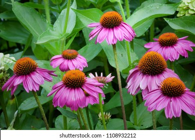 "Purple coneflower (Echinacea purpurea) variety ""Pow Wow Wildberry"" in a garden"