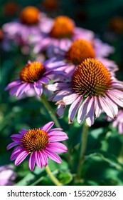 Purple coneflowers (echinacea) in summer garden on a sunday day with soft focus flowers in background.