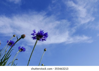 purple Cornflower or Bachelor's Button meadow with blue sky background