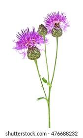 Purple Cornflower - Centaurea on a white background
