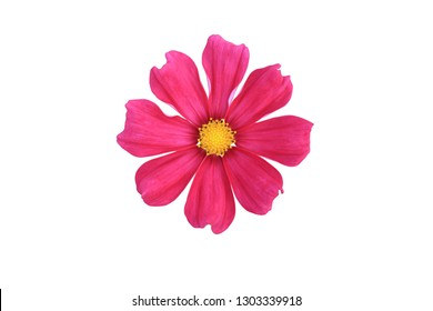Purple cosmos flower on white isolate background with clipping path. flower objetive for use.