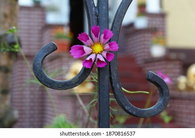 purple cosmos flower stuck in a metal fence