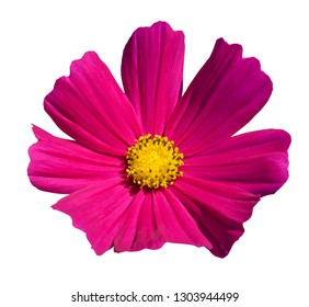 purple cosmos flowers blooming isolated on the white background, clipping path