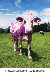 Purple cow in Alps landscape field