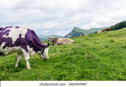 Purple cow grazing in a mountain alm in the Alps