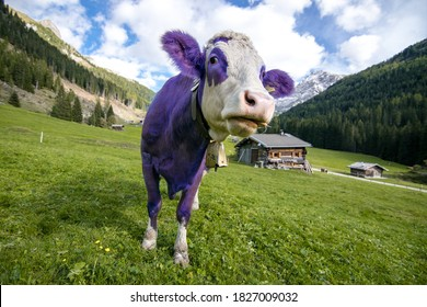 purple cows grazing on the alpine mountains
