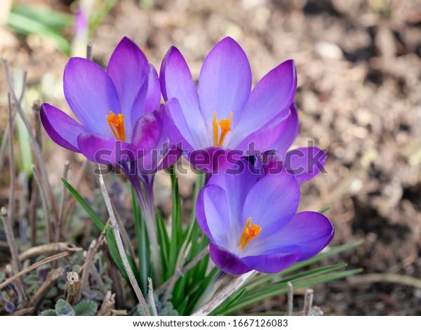 purple-crocus-blossoms-outdoors-garden-6