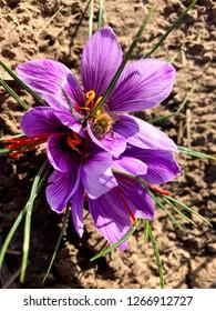 Purple crocus flower on a brown garden bed.