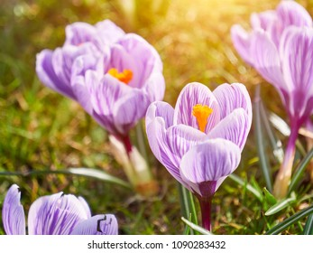 Purple crocus, flowering plants in the iris family. a bunch of crocuses, meadow full of crocuses