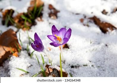 purple crocus flowering in snow during early spring