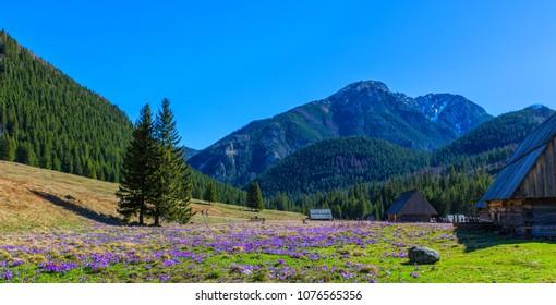 Purple crocus flowers blooming in Chocholowska valley during spring season, Tatra Mountains, Poland