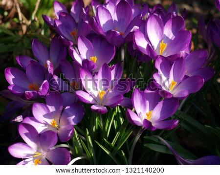 Purple Crocus Flowers in Full Bloom