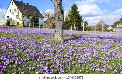 Purple crocus flowers meadow scene. Crocus meadow flowers. Purple crocus flowers. Purple crocus flower meadow