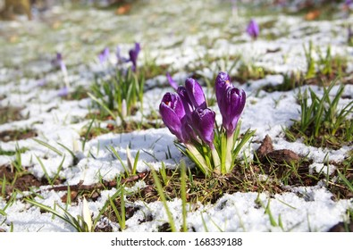 c359d3854 purple crocus flowers on snow meadow during spring day