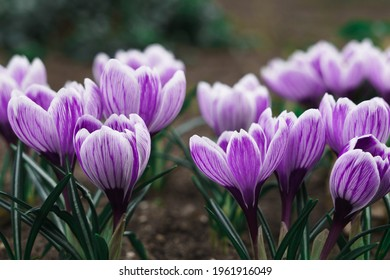 Purple Crocus Flowers in Spring. High quality photo