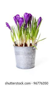 Purple Crocus flowers in zinc pot over white background