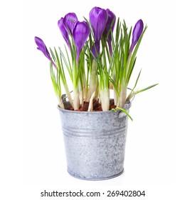Purple Crocus flowers in zink pot over white background