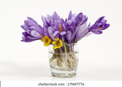 Purple crocus isolated on white background