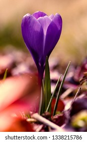purple crocus on a green background