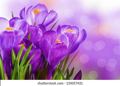 purple crocus wild flower plant in spring