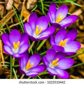 Purple Crocuses in Bloom