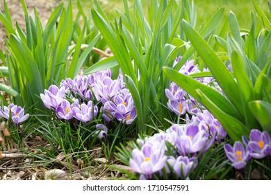 Purple crocuses blooming in early Spring