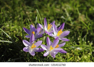 purple crocuses in the grass