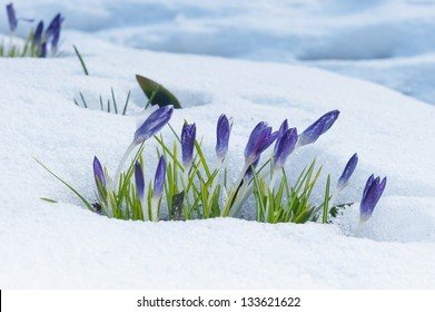 Purple crocuses growing up through the snow in early spring