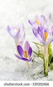 Purple crocuses in the snow