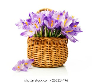 Purple crocuses in a wicker basket isolated over white