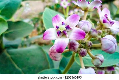 Purple Crown Flower, Giant Indian Milkweed, Giant Milkweed,