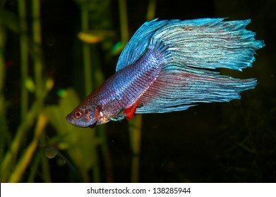 Purple cyan blue siamese fighting fish (Betta splendens) in aquarium