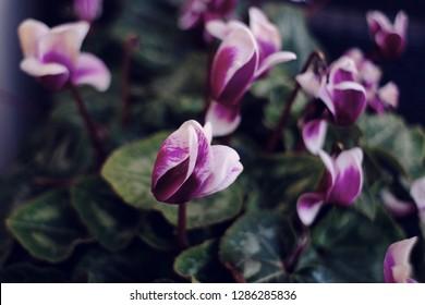 the Purple cyclamates