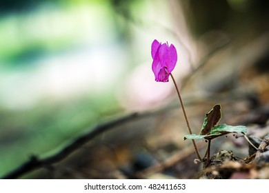 Purple Cyclamen flowering in a dark forest with light in background