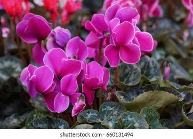 Purple cyclamen flowers in garden bed (Alpenveilchen)