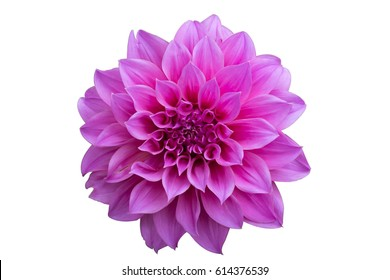 A purple Dahlia flower on white background.
