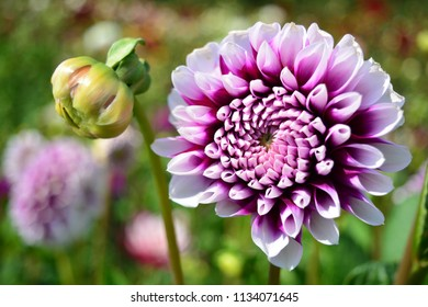 Purple dahlia in the garden